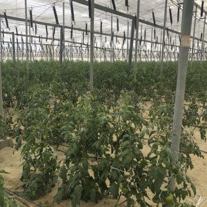 tomate raf en invernadero grupo agroponiente