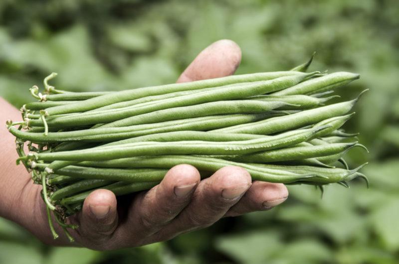Judía Agroponiente
