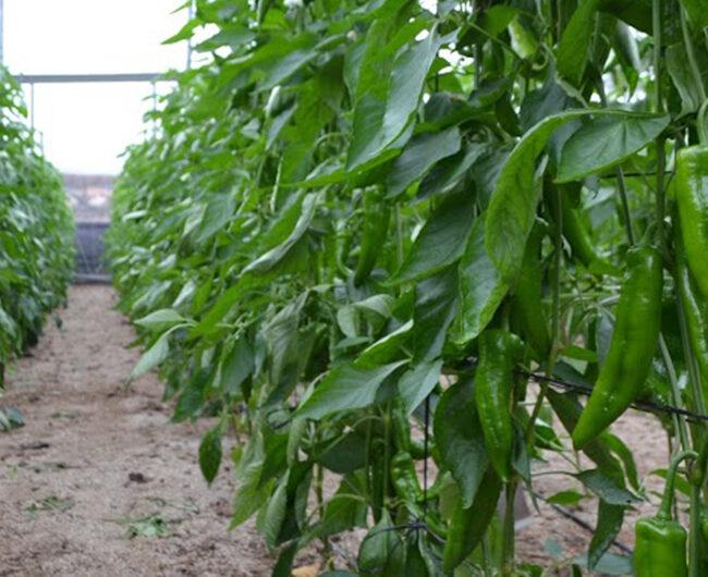 Grupo Agroponiente hace un balance positivo de la campaña de producción estival en sus centros de la sierra