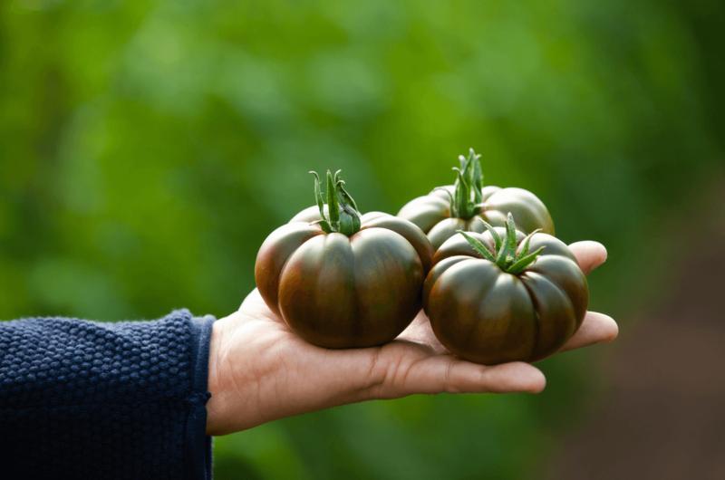 Grupo Agroponiente apuesta por el sabor con su nuevo tomate asurcado chocolate en exclusiva: 'Marejada'